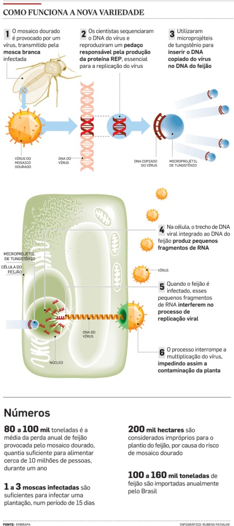 Phaseolus vulgaris transgénico. Infografía de Estadao